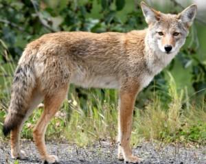 Coyote_in_Alaska R