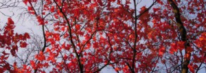 red trees R